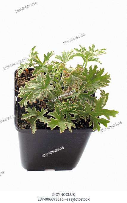 Pelargonium citronnellum in front of white background