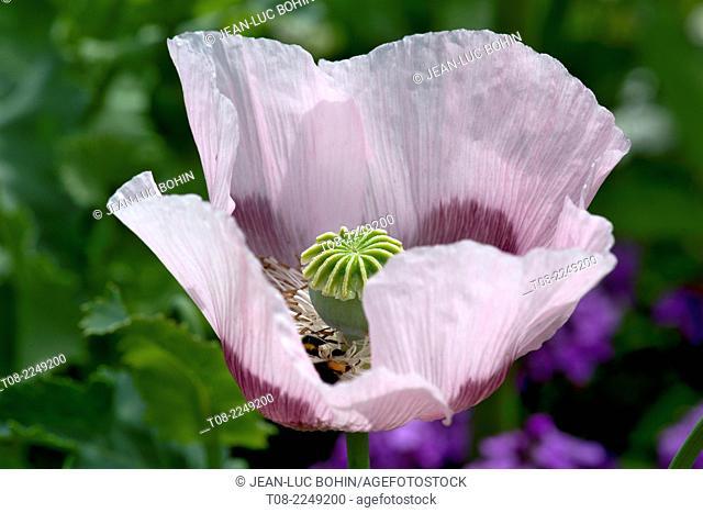France,27,giverny, Monet's garden : poppy