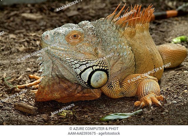 Green Iguana (Iguana iguana) South America In captivity