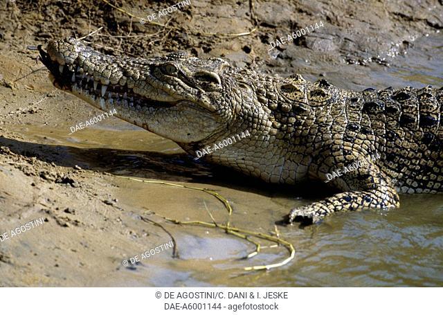 Saltwater crocodile (Crocodylus porosus), Crocodylidae, Mahanadi River Delta, India