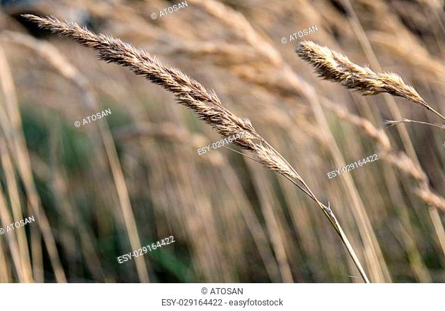 Dry Grass waving in the wind close-up