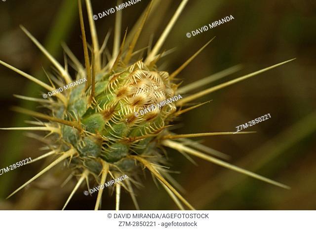 Flor de cardo. Macrofotografía