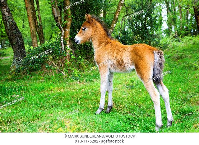 Dartmoor Foal in woodland Devon England