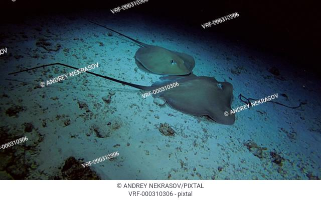 Two Pink whiprays - Himantura fai swim over sandy bottom (night sooting), Indian Ocean, Maldives, Asia