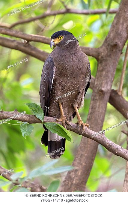 Crested serpent eagle (Spilornis cheela), adult, perched on tree, Tadoba National Park, Maharashtra, India