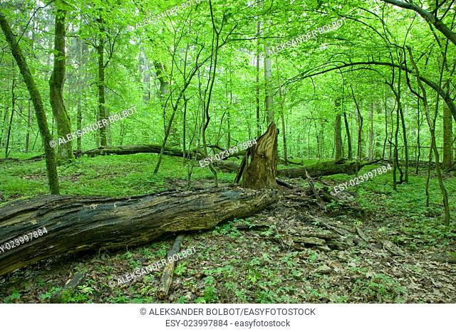 Natural deciduous forest landscape with dead tree and young hornbeam trees in background,Bialowieza Forest,Poland,Europe