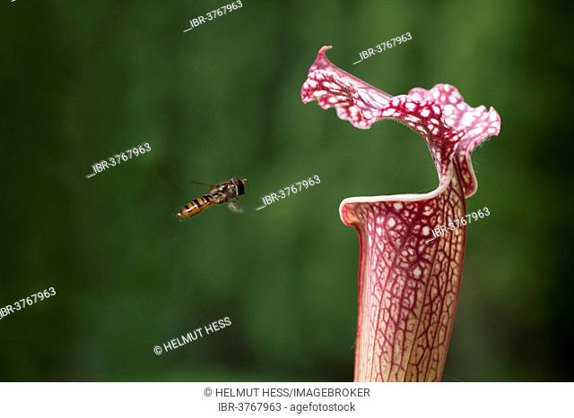 Common Banded Hoverfly (Syrphus ribesii) hoving at a Pitcher Plant (Sarracenia hybrids), Erfurt, Thuringia, Germany