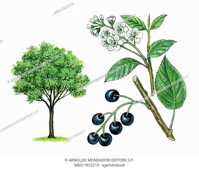Bird Cherry also known as Hackberry (Prunus padus), by Giglioli E., 20th Century, ink and watercolour on paper. Whole artwork view