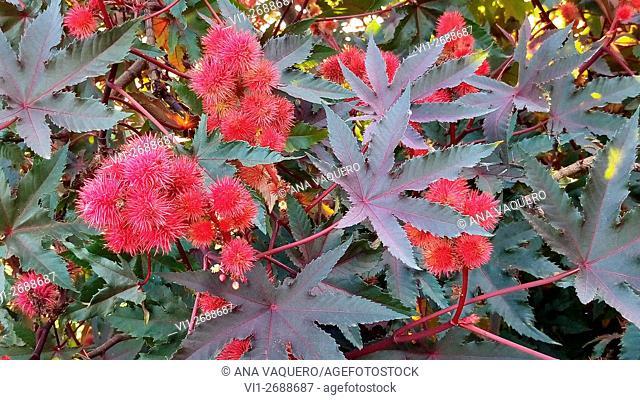 bush, ornamental plant, decoration, vegetation, lush, Red, green, leaves, spring