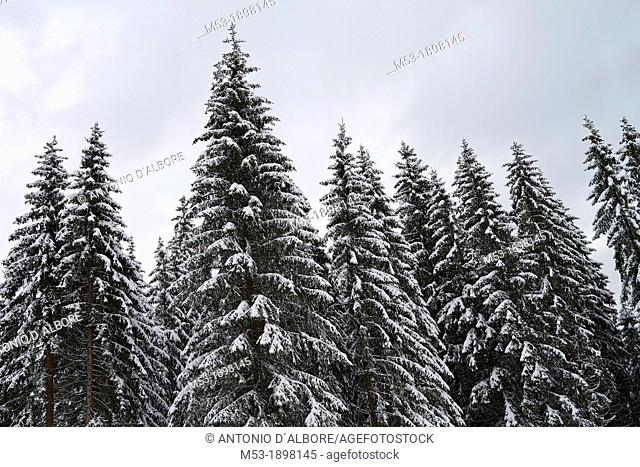 Forest of European Silver Firs Abies Alba covered by snow