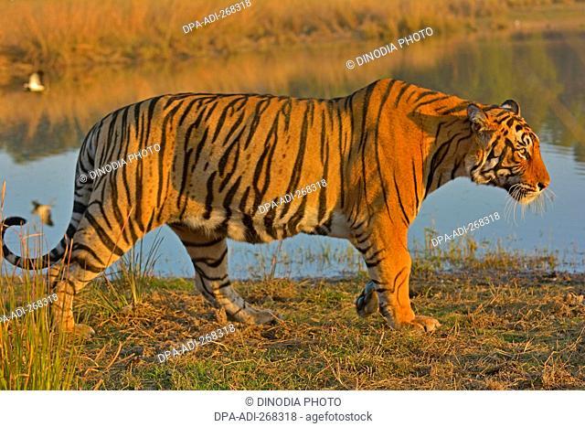 Bengal Tiger, Ranthambore national park, rajasthan, India, Asia