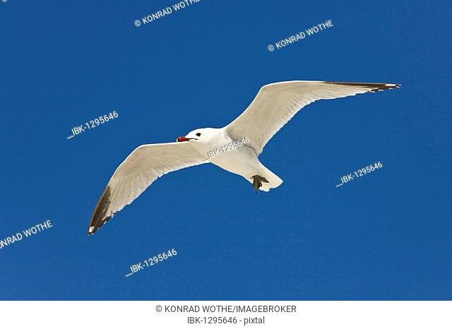 Audouin's Gull flying (Larus audouinii), Mallorca, Spain, Europe