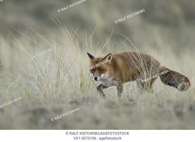Red Fox ( Vulpes vulpes ), adult, hunting in grasslands, in daylight, nice winterfur, wildlife, Europe