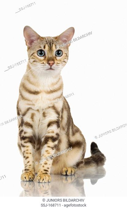 Bengal Cat. Adult sitting. Studio picture against a white background