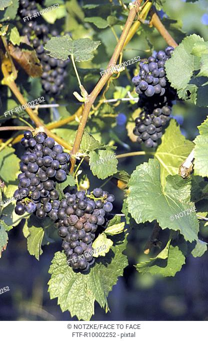 Grapes at the vine