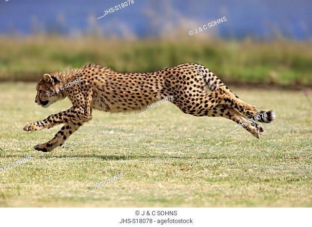 Cheetah, (Acinonyx jubatus), subadult running, Western Cape, South Africa, Africa