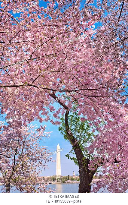 Cherry blossom with Washington Monument in background