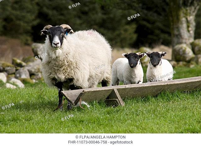 Domestic Sheep, Scottish Blackface, ewe with lambs, standing beside feeding trough, Cairnsmore of Fleet, Dumfries and Galloway, Scotland, spring