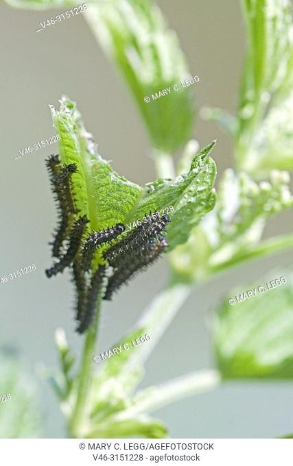 Map Butterfly caterpillars, Araschnia levana. Newly emerged Map Butterfly. First generation. Butterfly has two broods per season