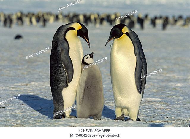 Emperor Penguin (Aptenodytes forsteri) family, Weddell Sea, Antarctica
