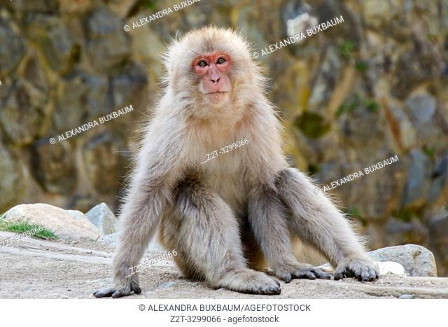 Jigoku-dani Snow Monkey Park, Japan Alps, Japan