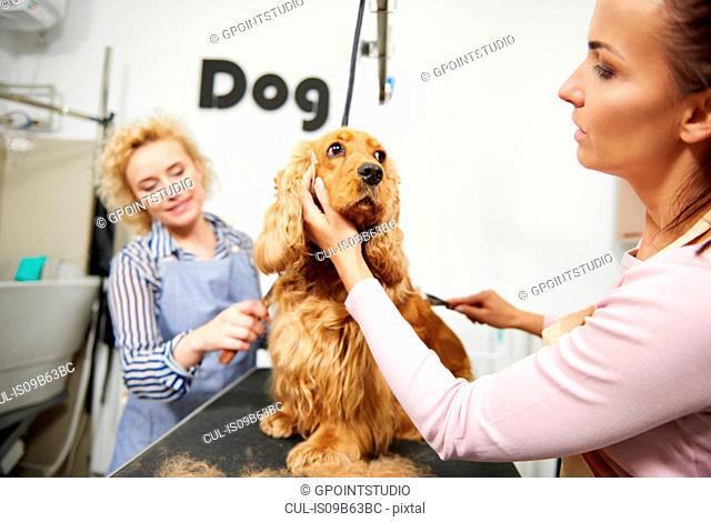 Female groomers brushing cocker spaniel at dog grooming salon