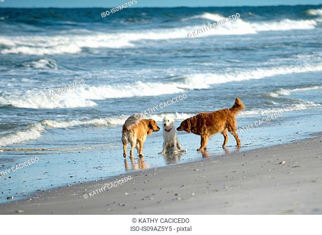 Goldendoodle with two golden retrievers on beach