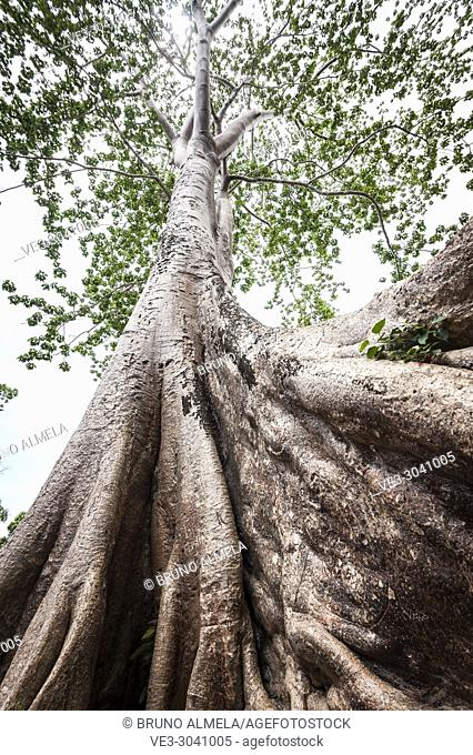 Giant tree in tropical rainforest. Cambodia