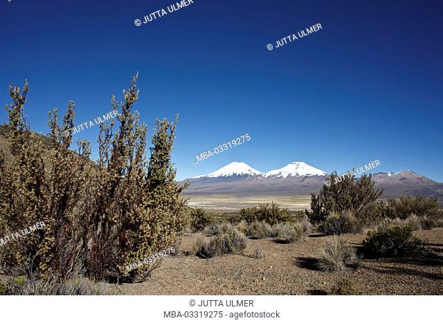 Bolivia, national park Sajama, Quenua wood