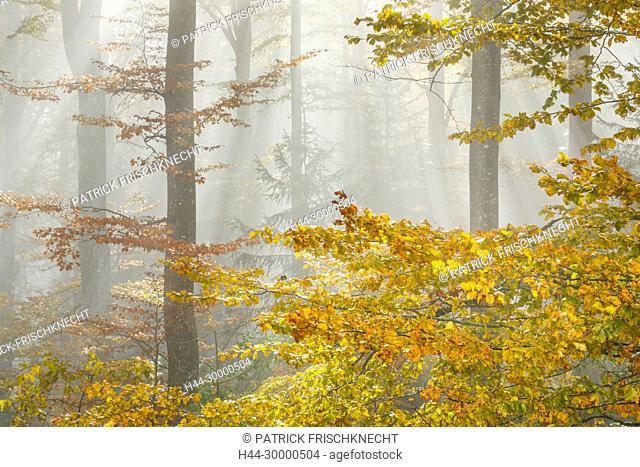 Buchenwald im Herbst, Schweiz