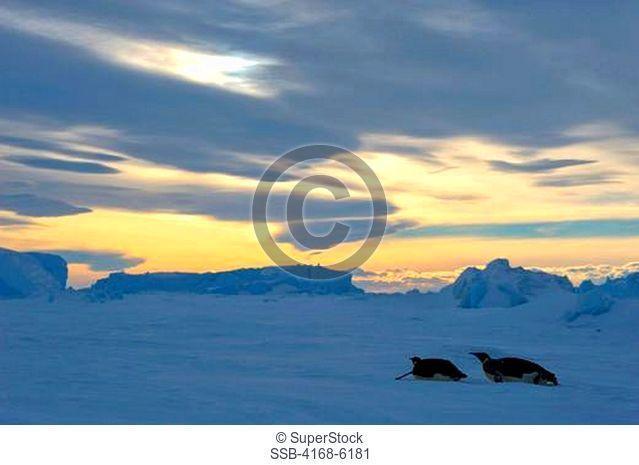 ANTARCTICA, WEDDELL SEA, SNOW HILL ISLAND, EMPEROR PENGUINS Aptenodytes forsteri TOBBOGANING ON FAST ICE