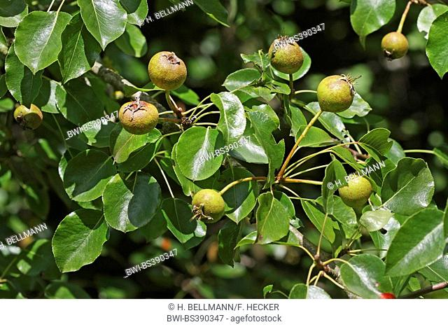 European Wild Pear, Wild Pear (Pyrus pyraster), branch with fruits, Germany
