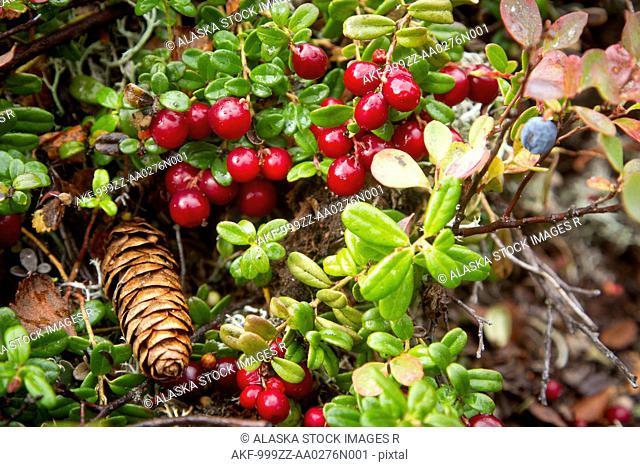Close up of Low bush cranberries and tundra foliage, Interior Alaska, Autumn