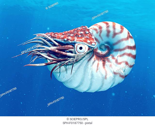 Nautilus, illustration