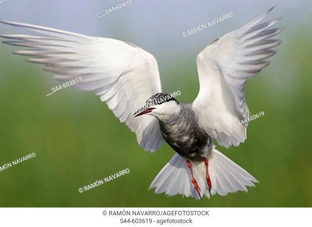 Whiskered Tern (Chlidonias hybridus). Doñana National Park. Huelva province, Andalusia, Spain