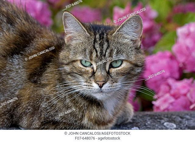 Domestic Cat (Felis catus) in Garden- England - UK