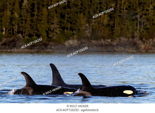 Northern resident killer whales resting along the hanson island shoreline near the Broughton Archipelago, First Nations Territory, British Columbia, Canada