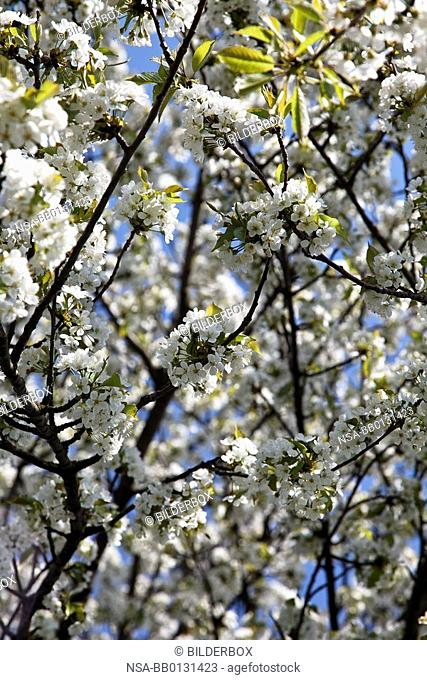 Tree in spring with blossoms against a blue sky