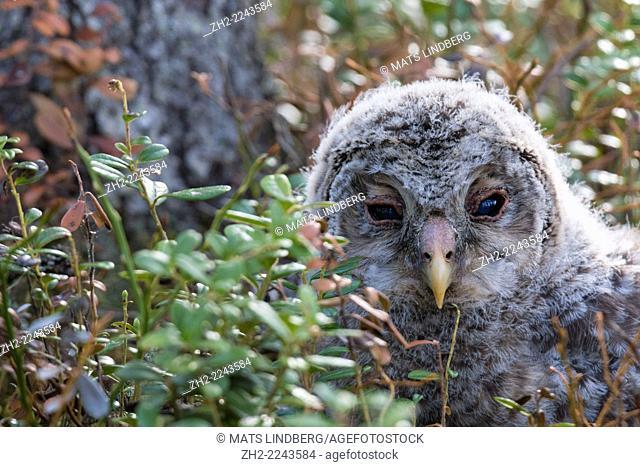 Portrait of juvenile Ural owl, Strix uralensis, sitting on the ground