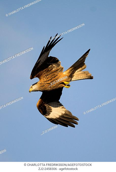 Red kite (Milvus milvus) in flight, Yorkshire, United Kingdom