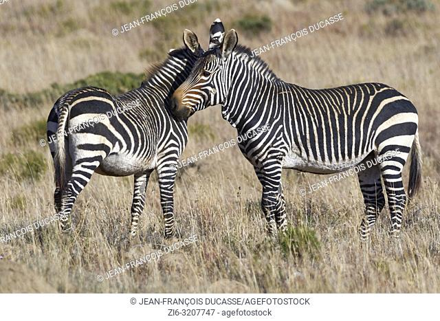Cape mountain zebras (Equus zebra zebra), cheek to cheek, in open grassland, Mountain Zebra National Park, Eastern Cape, South Africa, Africa