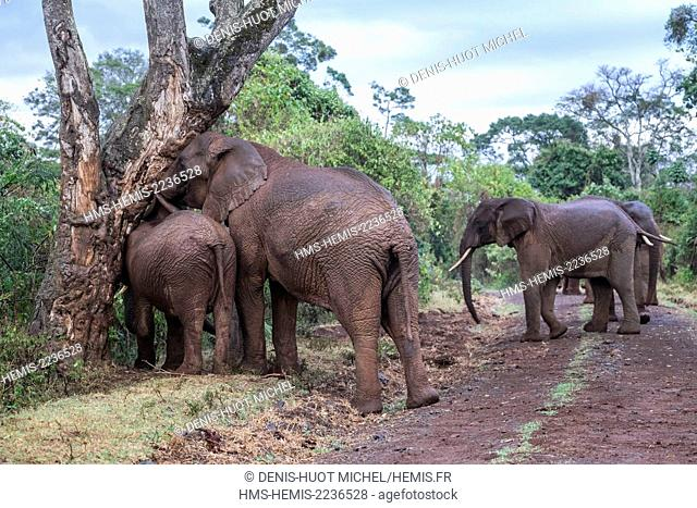 Kenya, Aberdare national park, Elephant (Loxodonta africana), rubbing themselves on a tree to remove the insects in their skin