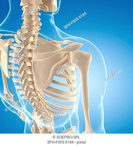 Male skeleton, computer artwork