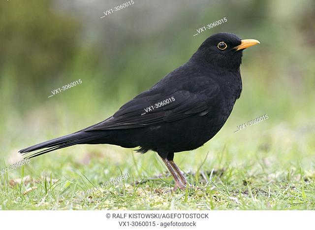 Common Blackbird ( Turdus merula ), black male, typical garden bird, low point of view, detailed, full body, side view, wildlife, Europe