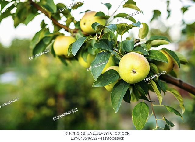 Close View Of The Branch Of Apple Tree, Hung With Yellow And Pink Sappy Apples Fruit Among Green Leaves In Summer Orchard. Green Copyspace Background