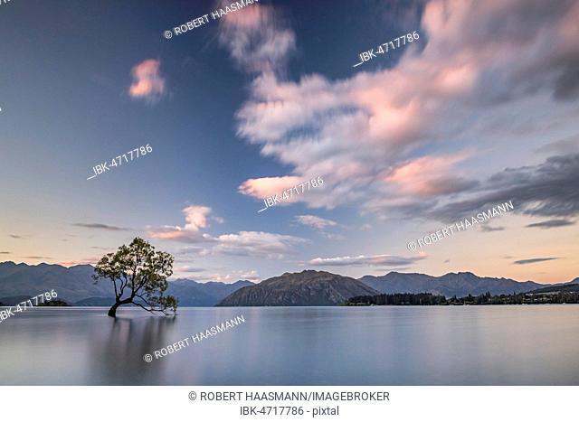 Single tree standing in water, Wanaka Lake, The Wanaka Tree, Sunset, Roys Bay, Otago, South Island, New Zealand