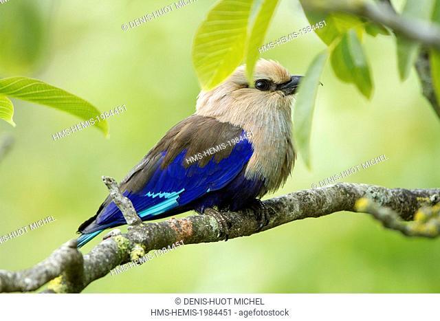 France, Maine et Loire, Doue La Fontaine, Bioparc zoo, Blue-bellied Roller (Coracias cyanogaster)