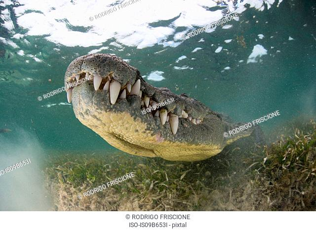 Crocodile on seabed, Xcalak, Quintana Roo, Mexico, North America