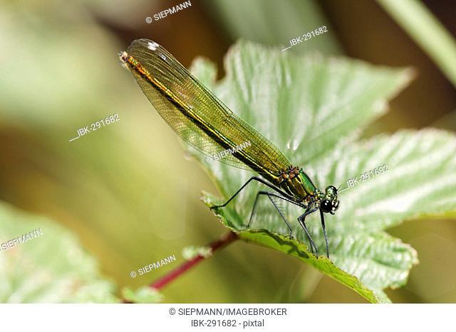 Banded blackwing, banded agrion, banded demoiselle, female, Calopteryx splendens