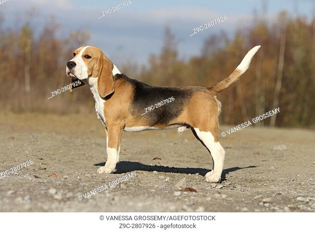 A Beagle dog standing in standard position
